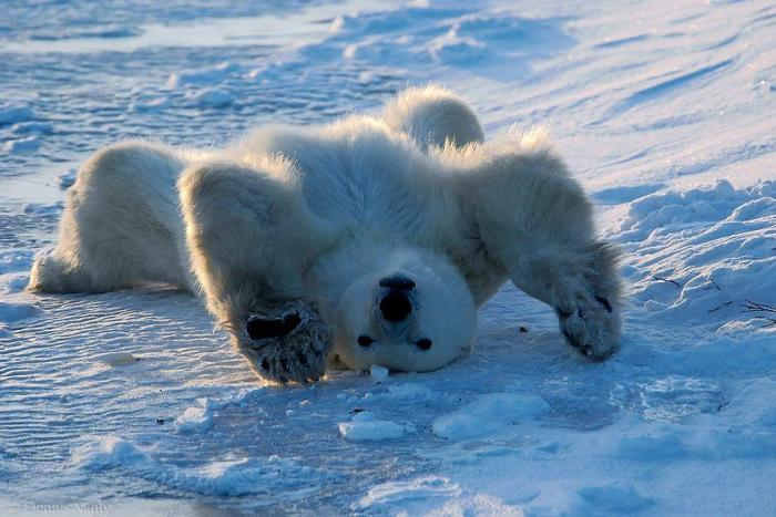 polar-bear